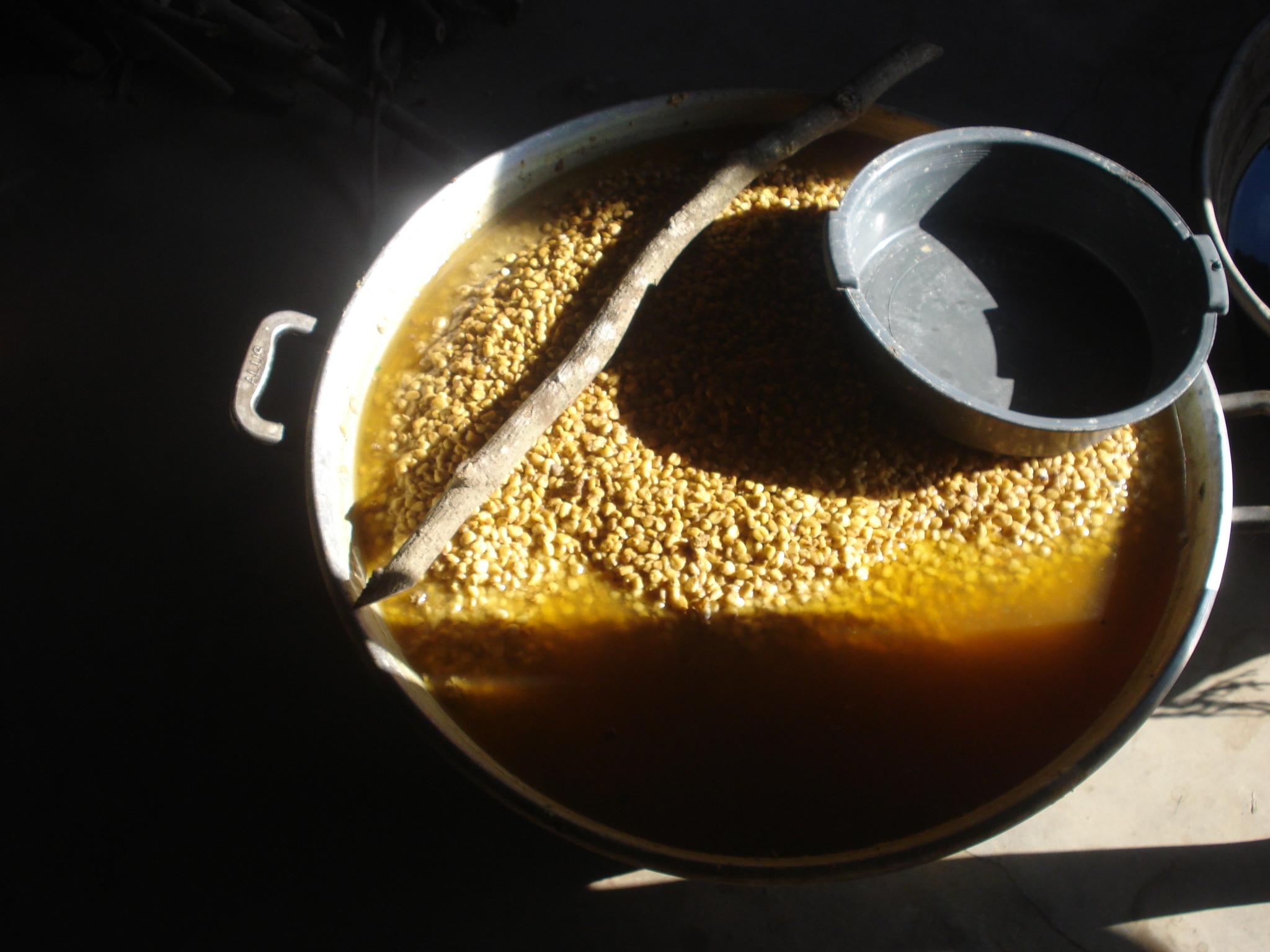 siembra del maiz
